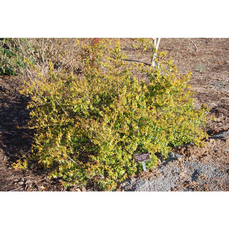 Abelia ×grandiflora 'Francis Mason' - glossy abelia