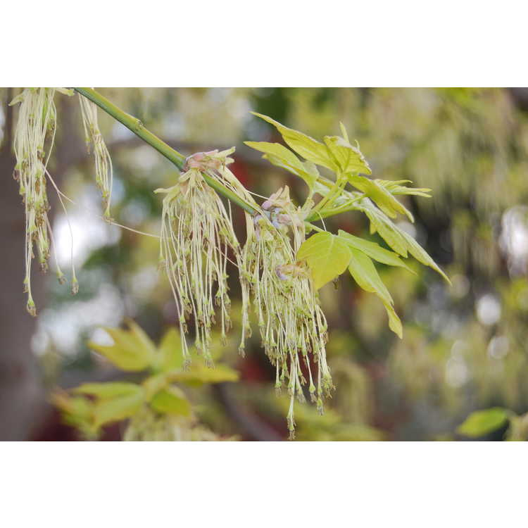 Acer negundo 'Kelly's Gold' - golden box-elder