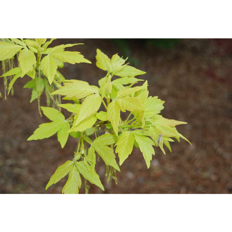 Acer negundo 'Kelly's Gold'