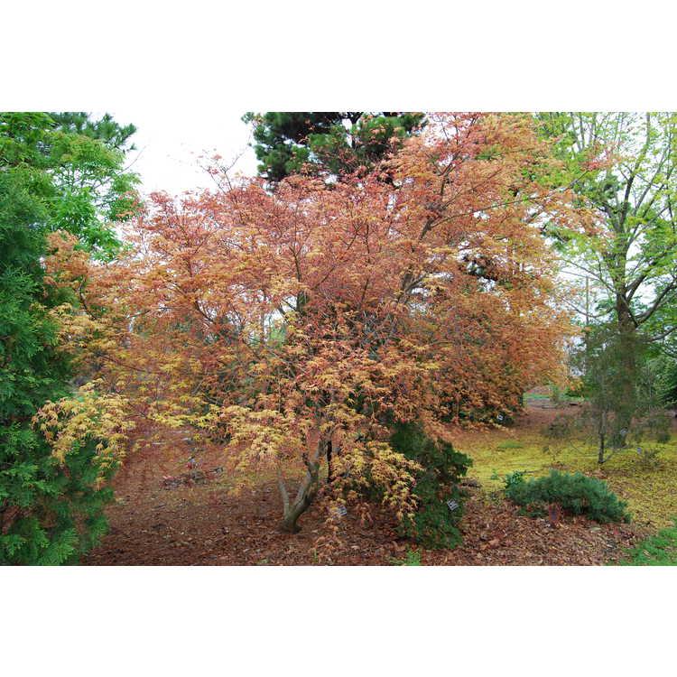 Acer palmatum 'Beni komachi' - dwarf red-leaf Japanese maple
