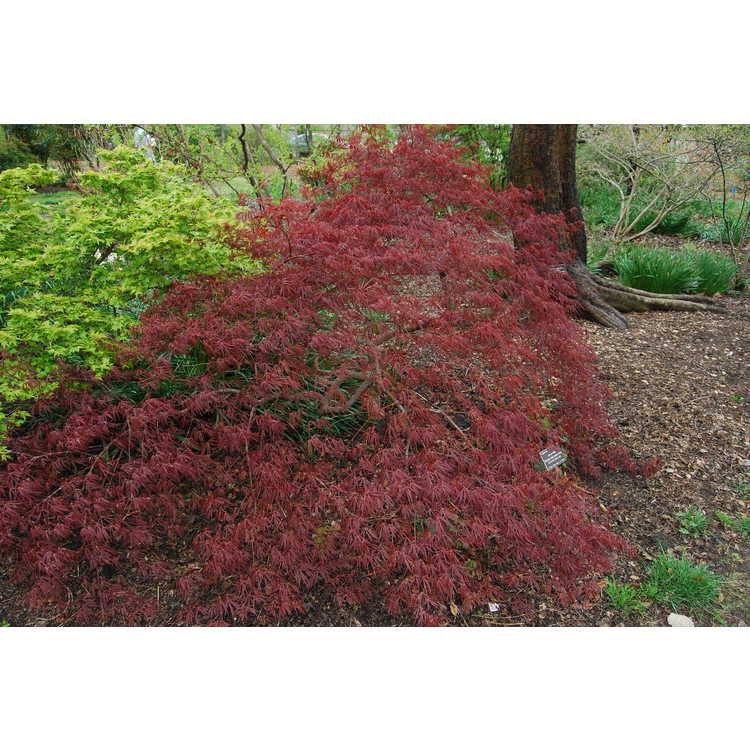 Acer palmatum Dissectum Atropurpureum Group - red lace-leaf Japanese maple
