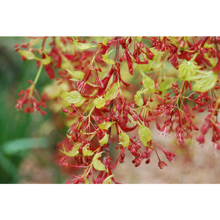 Acer palmatum 'Higasa yama' - variegated Japanese maple