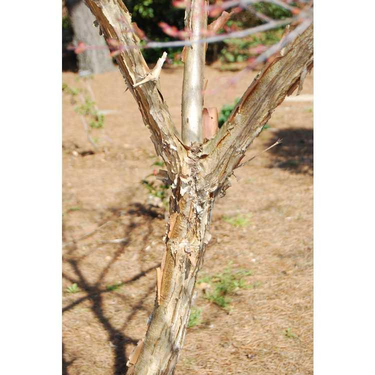 Acer triflorum - three-flower maple