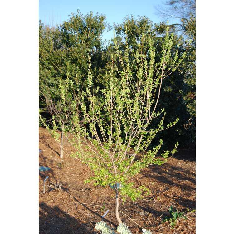 Acer tschonoskii - butterfly maple
