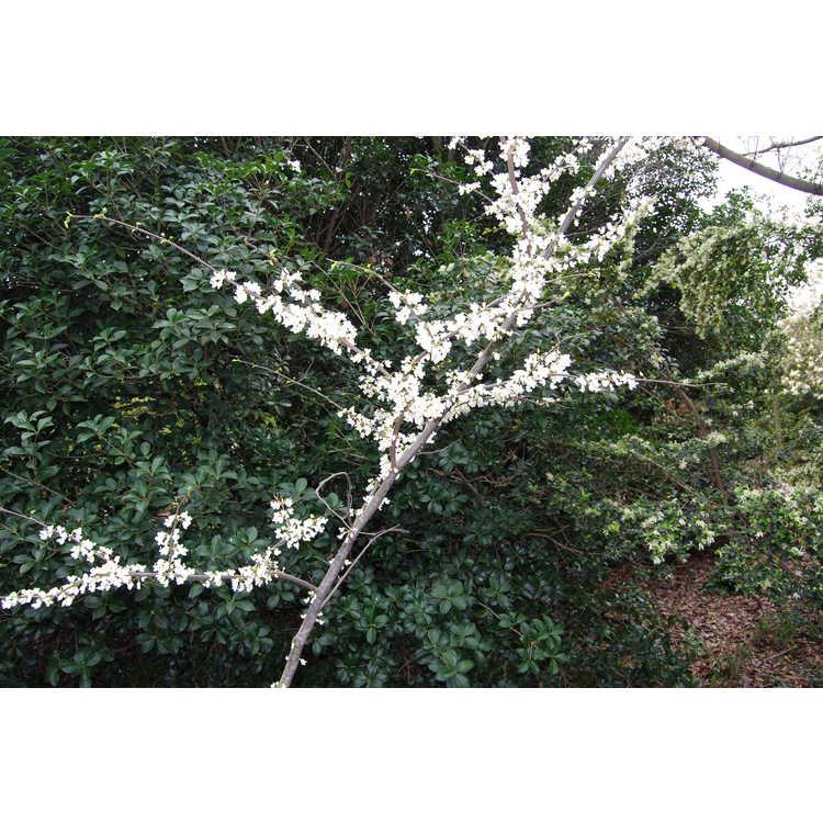 Cercis canadensis Royal White