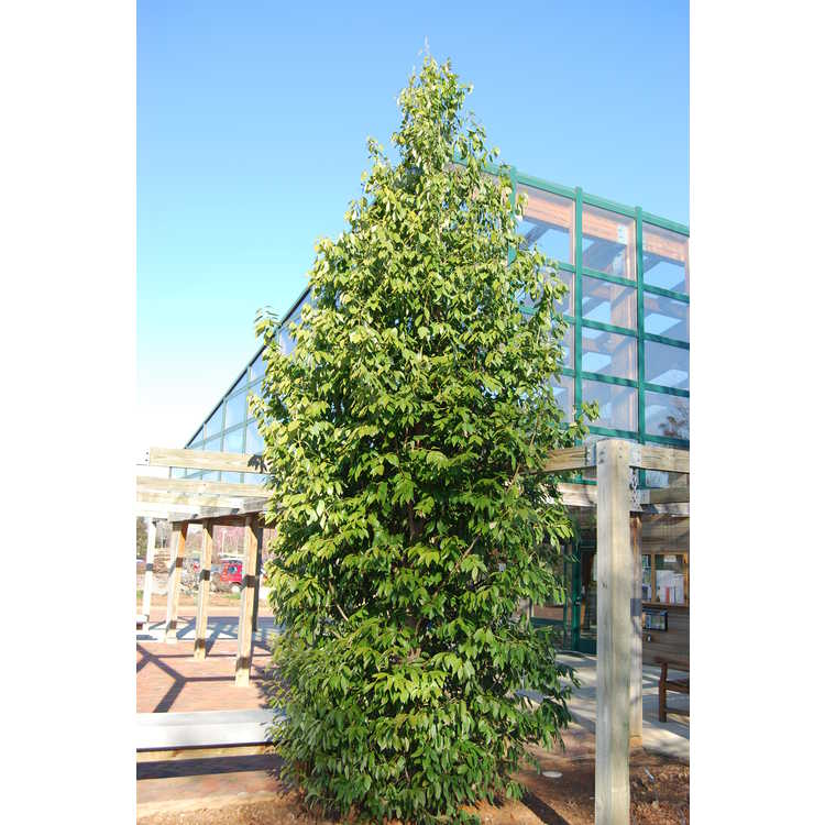 Cinnamomum wilsonii - Wilson's camphor-tree