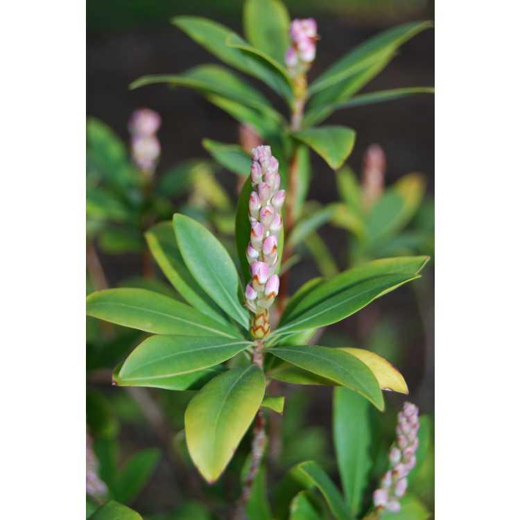 Cliftonia-monophylla-Dodds-Pink-001-JCRA-3-25-08.JPG
