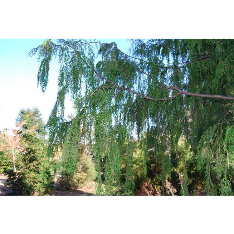 Cupressus funebris - mourning cypress