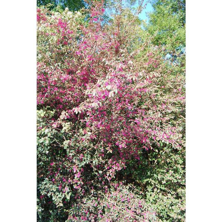 Loropetalum chinense var. rubrum 'Pipa's Red' - purple-leaf Chinese fringe-flower
