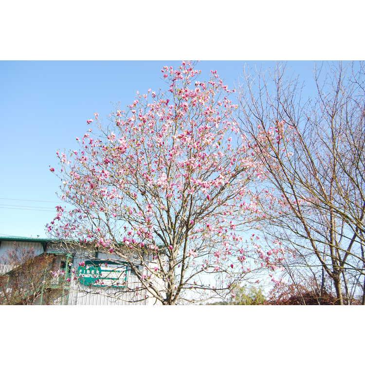 Magnolia 'Galaxy' - U.S. National Arboretum hybrid magnolia
