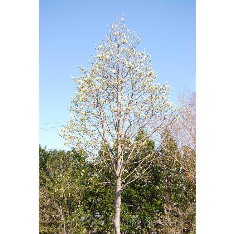 Magnolia Legend