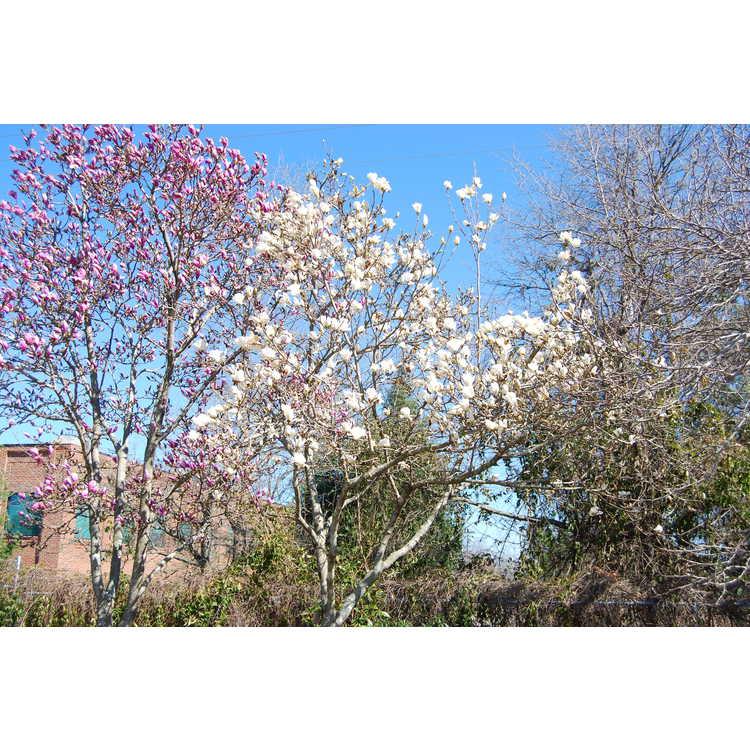 Magnolia 'Pristine' - McDaniel hybrid magnolia