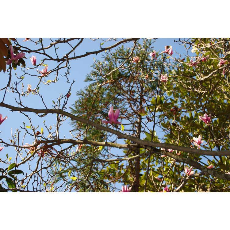 Magnolia Raspberry Ice