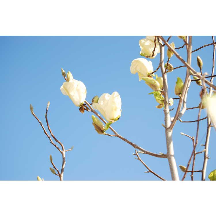 Magnolia Sun Ray