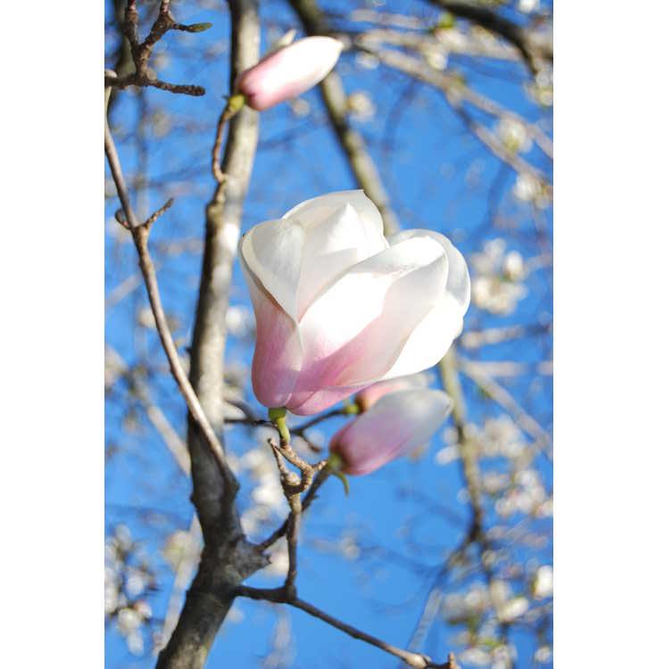 Magnolia Winelight