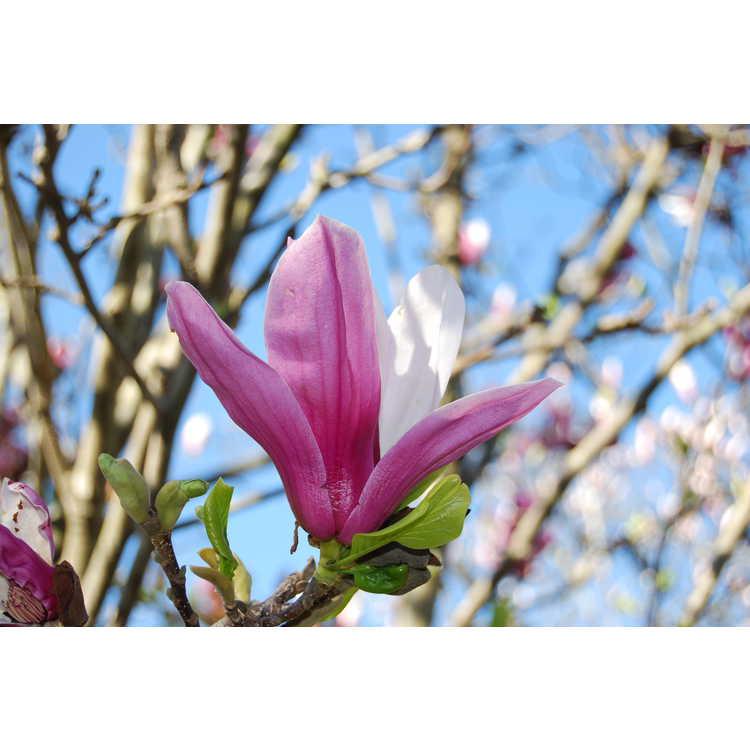 Magnolia soulangeana Picture