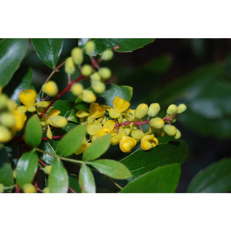 Mahonia gracilis