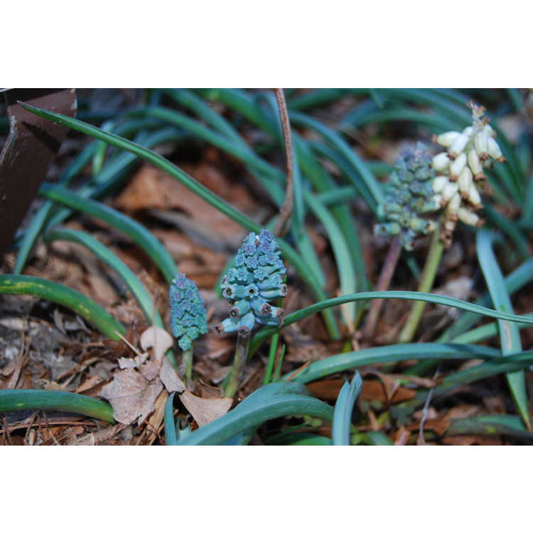 Muscari muscarimi - musk grape hyacinth