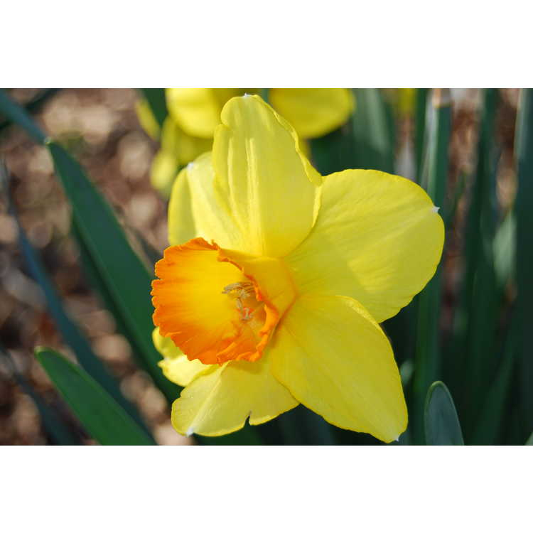 Narcissus 'Border Chief' - large-cupped daffodil