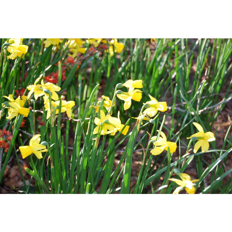 Narcissus 'Golden Quince' - miniature daffodil