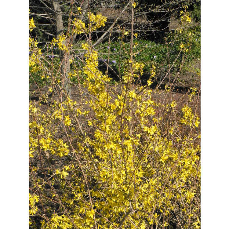 Forsythia giraldiana 'Golden Times'