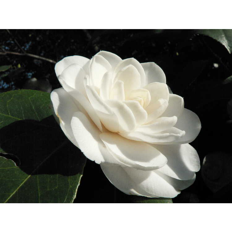 Camellia japonica 'White Perfection' - Japanese camellia