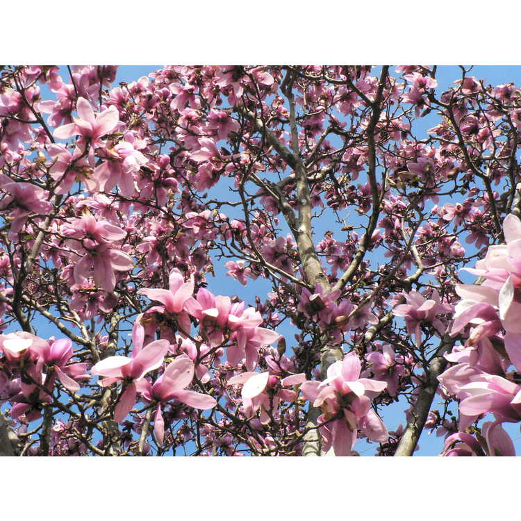 Magnolia soulangeana Verbanica