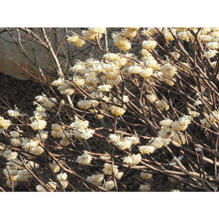 Edgeworthia chrysantha 'Winter Gold' - golden paperbush
