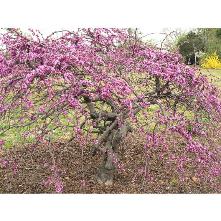 Cercis canadensis var. texensis 'Traveller' - weeping Texas redbud