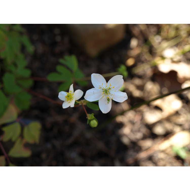 Isopyrum biternatum - false rue anemone