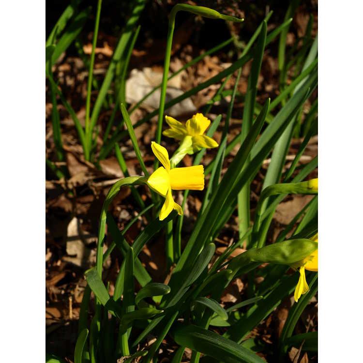 Narcissus 'Jumblie' - miniature daffodil