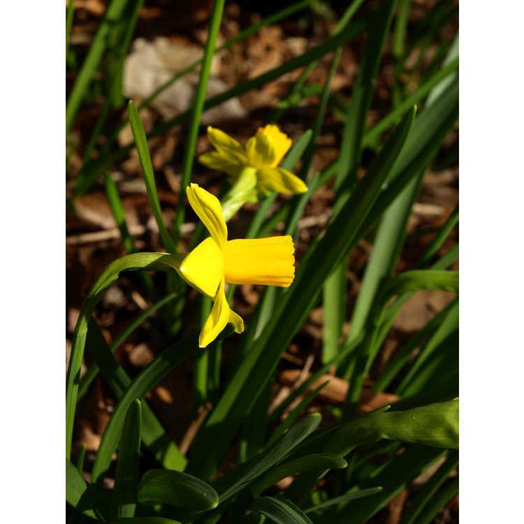 Narcissus Jumblie