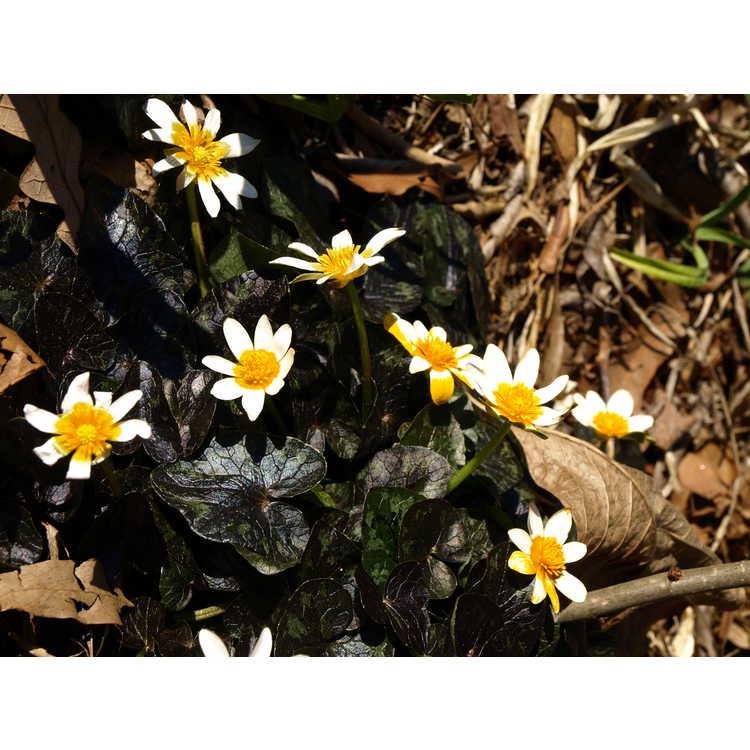 Ficaria verna 'Coppernob' - fig buttercup