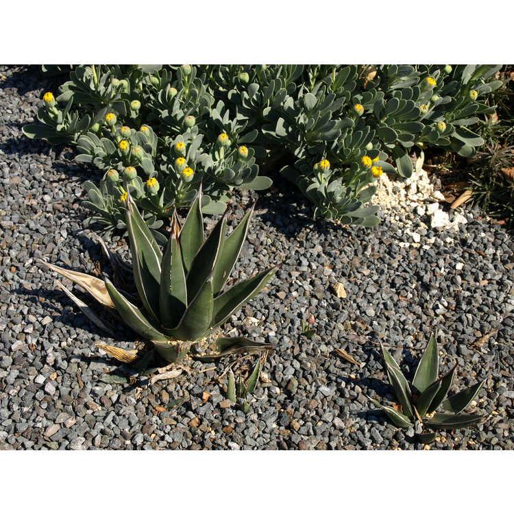 Agave victoriae-reginae × A. lechuguilla