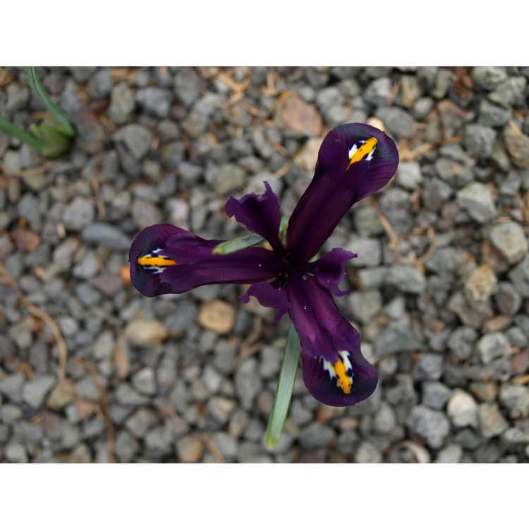 Iris [Reticulata Group] 'J. S. Dijt' - netted iris