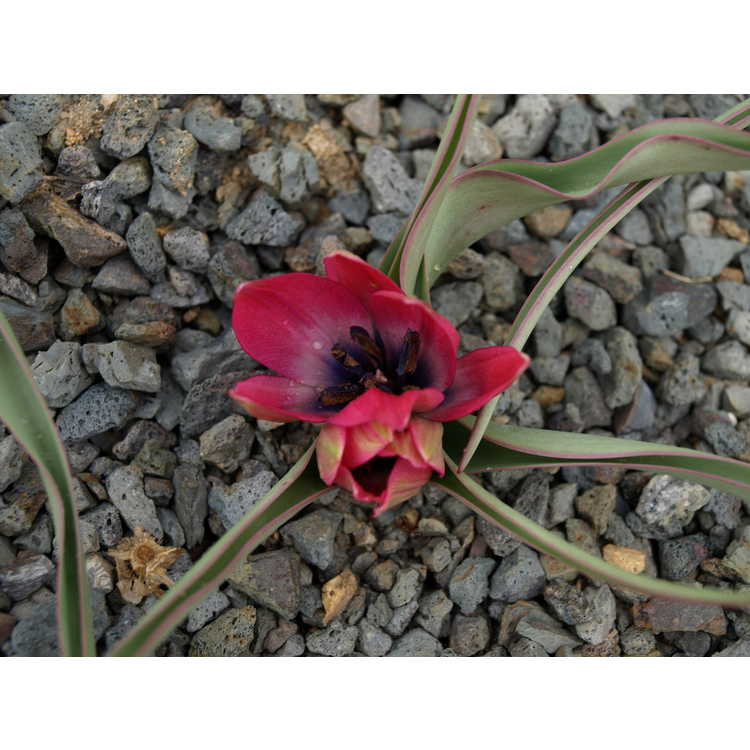 Tulipa 'Little Beauty' - tulip