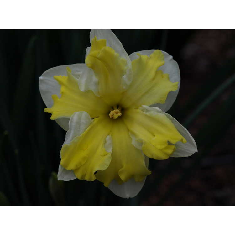 Narcissus 'Sorbet' - collar daffodil