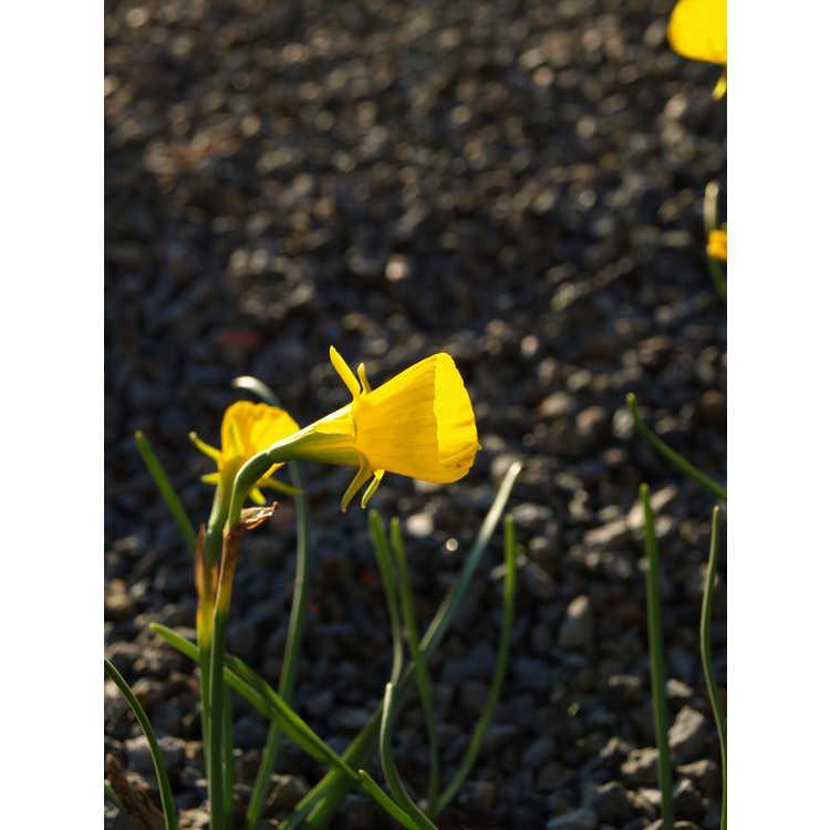 Narcissus 'Golden Bells' - hoop petticoat daffodil