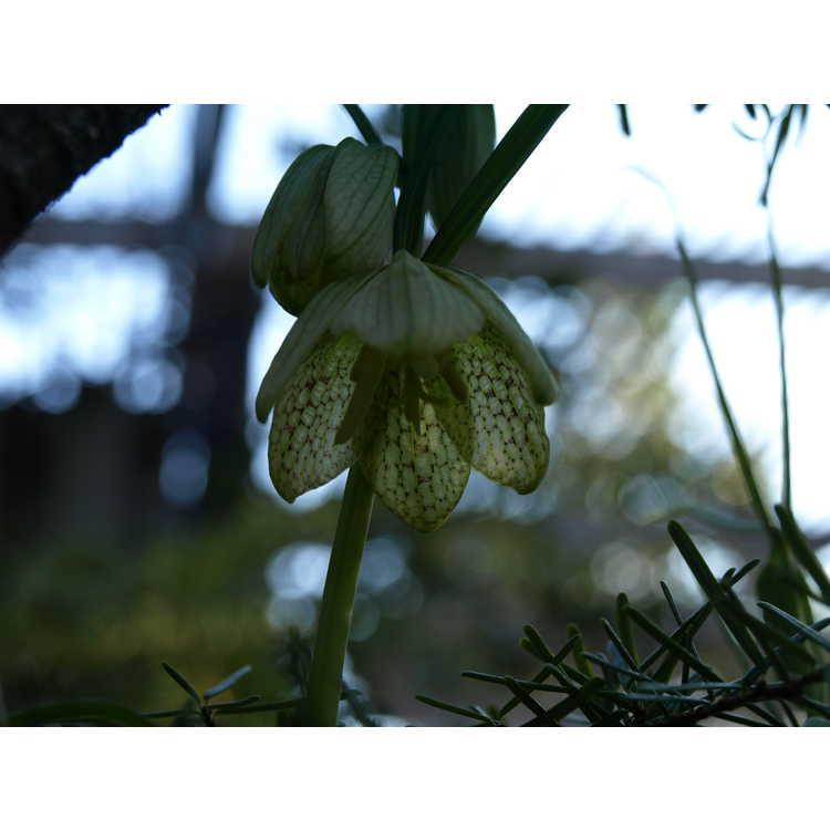 Fritillaria verticillata