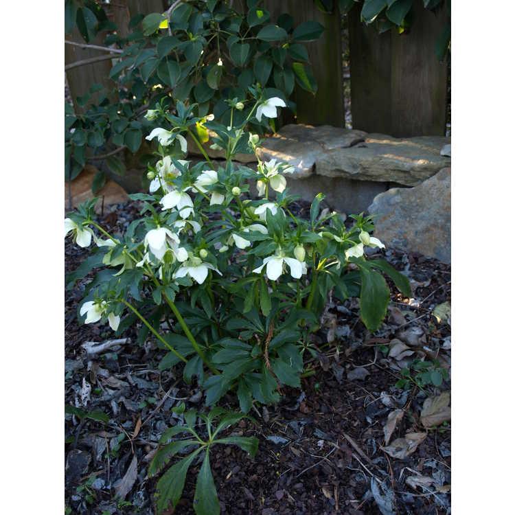 Helleborus ×hybridus 'Cattleya Semline'