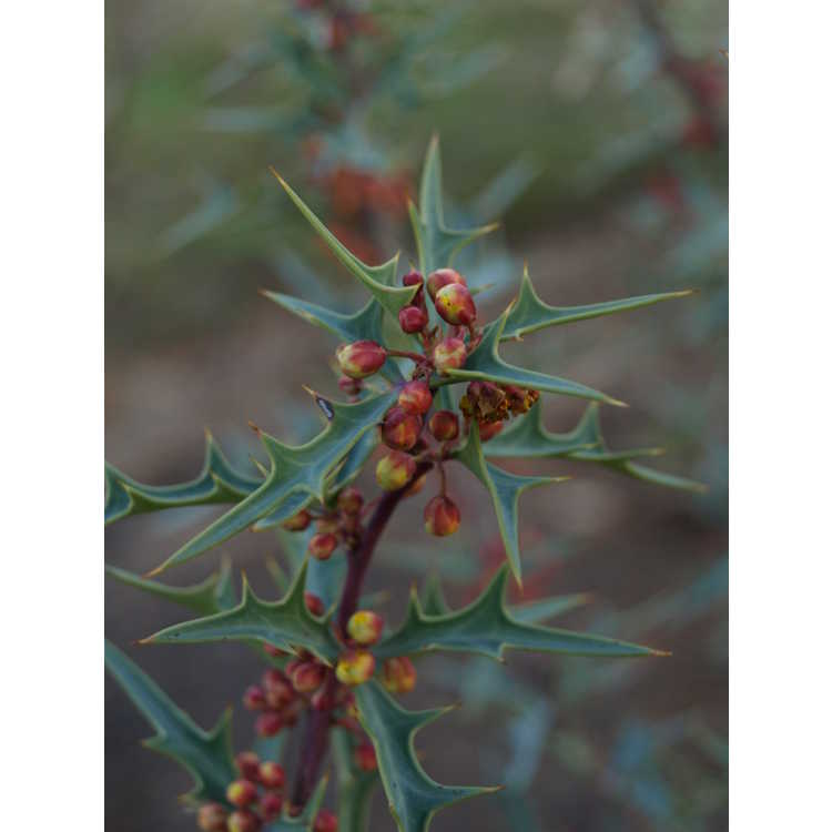 Mahonia trifoliolata
