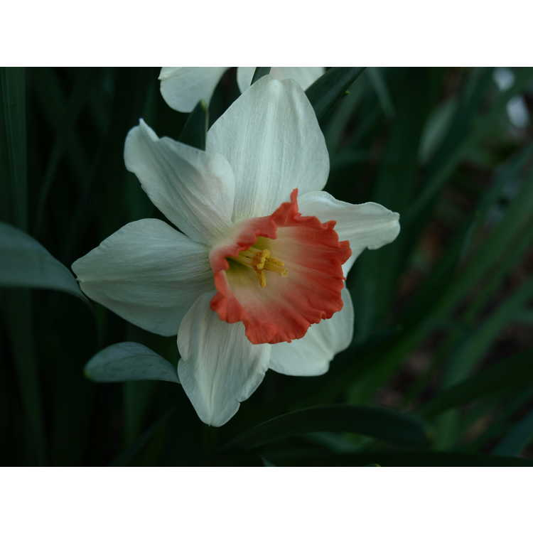 Narcissus 'Pink Charm' - large-cupped daffodil
