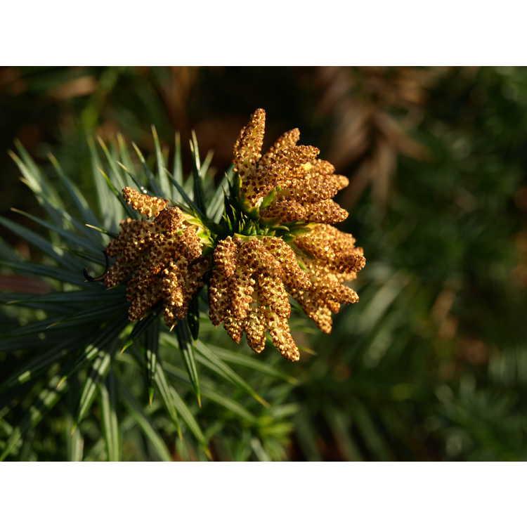 Cunninghamia lanceolata 'Chason's Gift'