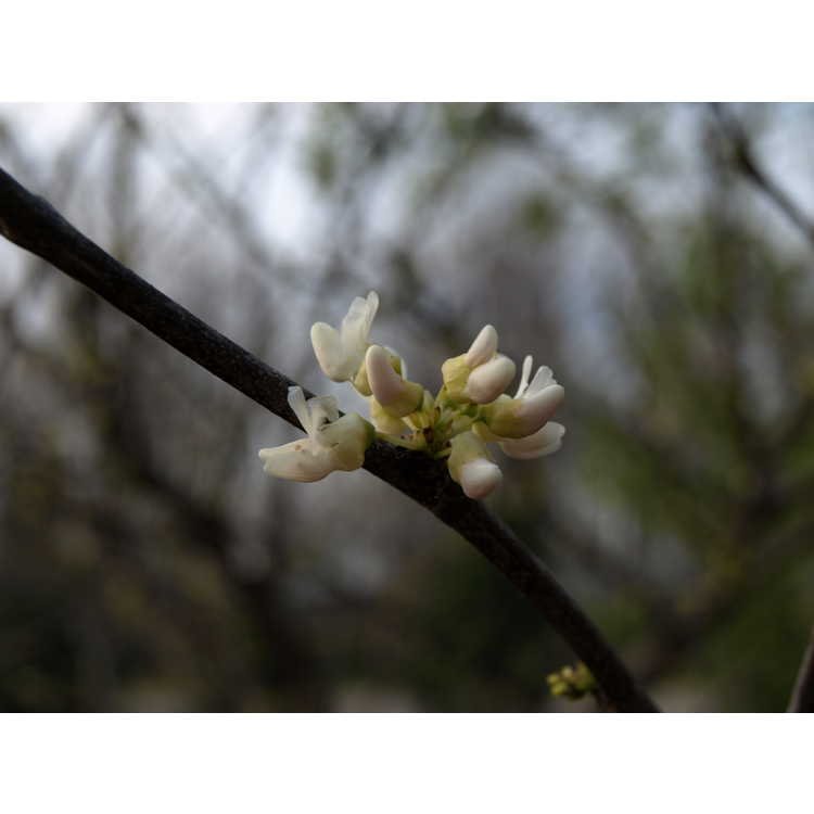 Cercis canadensis Dwarf White