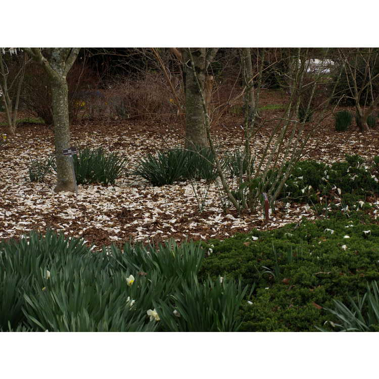 Magnolia ×kewensis 'Wada's Memory' - Kew magnolia