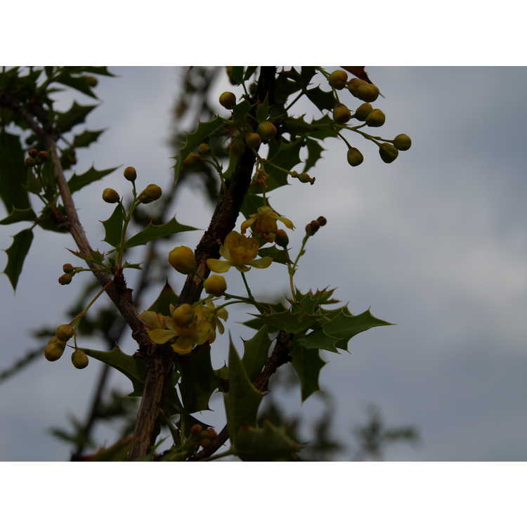 Mahonia haematocarpa - algerita