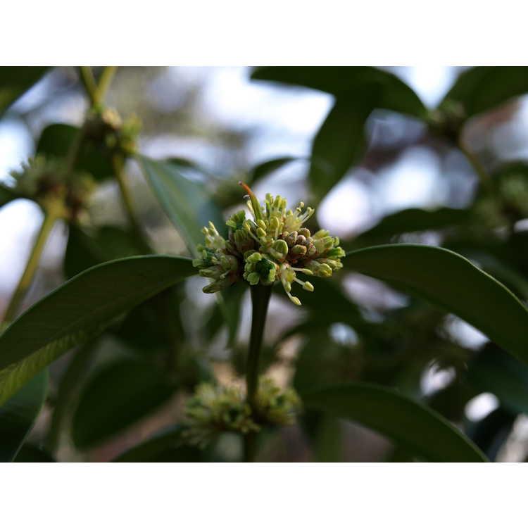 Buxus sinica