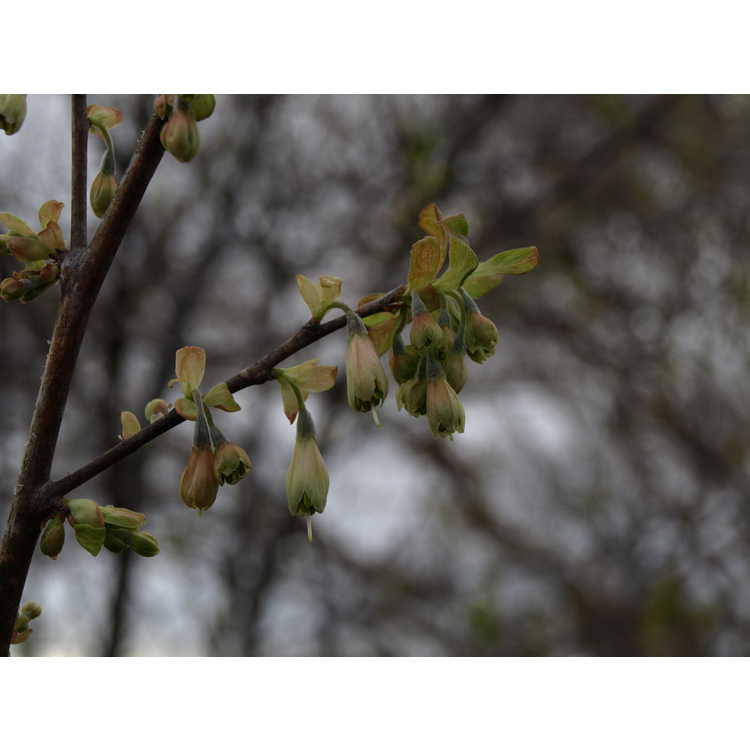 Halesia parviflora - small-flowered silverbell