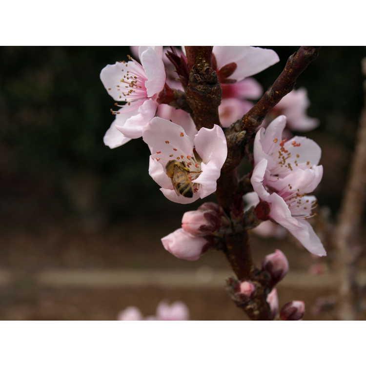 Prunus persica Bonfire