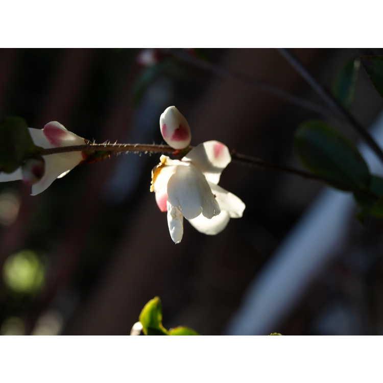 Camellia transnokoensis - Mount Noko camellia